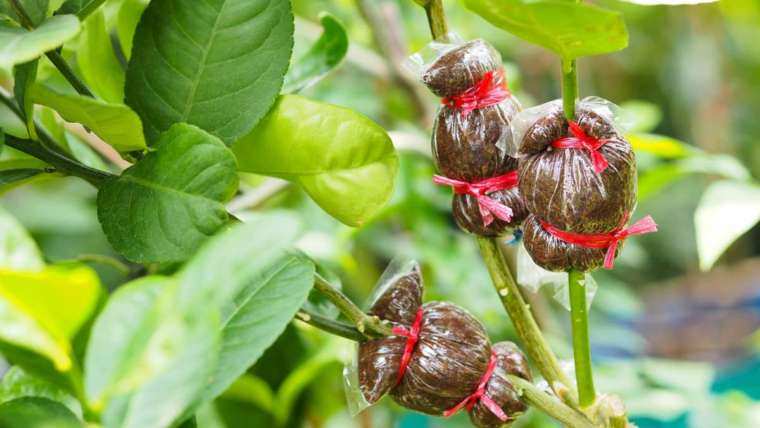 Oltóág – ébredő gyümölcsfáink